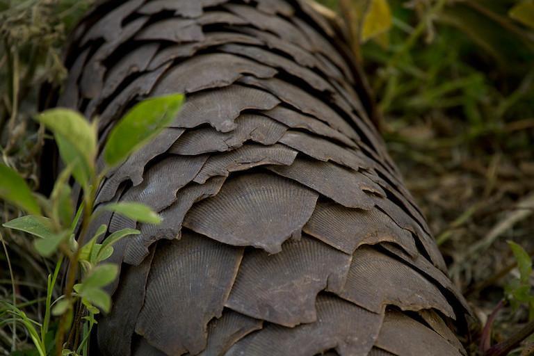 A closeup of pangolin scales.