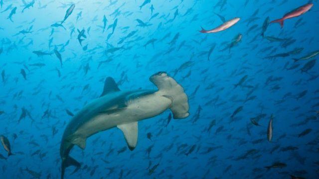 O tubarão-martelo está em perigo crítico. Fonte: GETTY IMAGES.