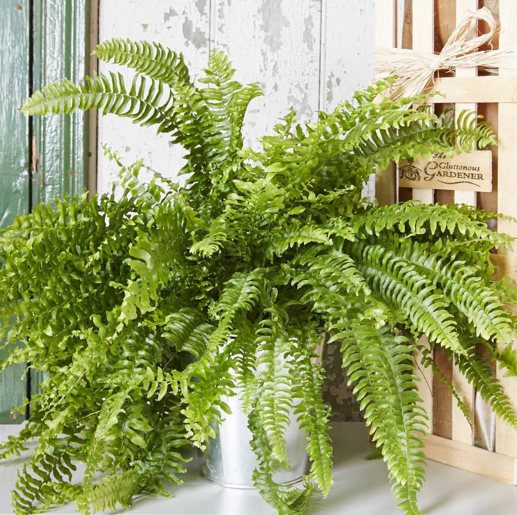 Image result for house fern
