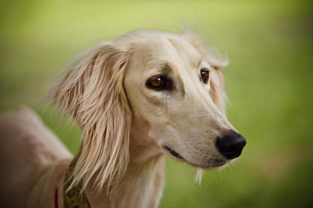 Saluki Dogs Breed Information Omlet