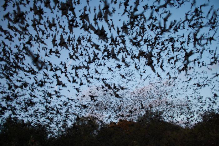 Bracken Bat Cave In San Antonio Has The Largest Bat Colony
