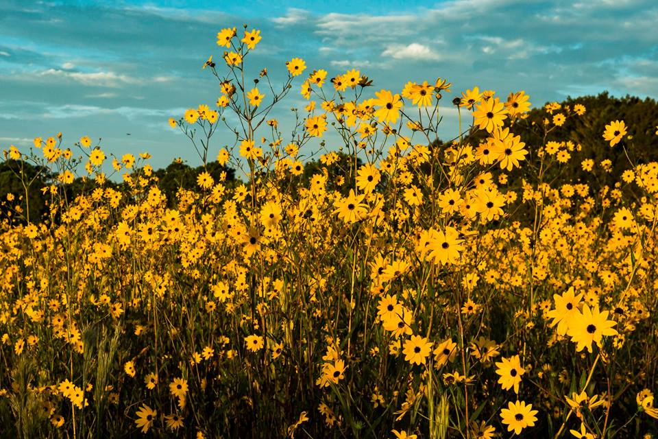 A Trip To Florida S Neverending Sunflower Field Will Make