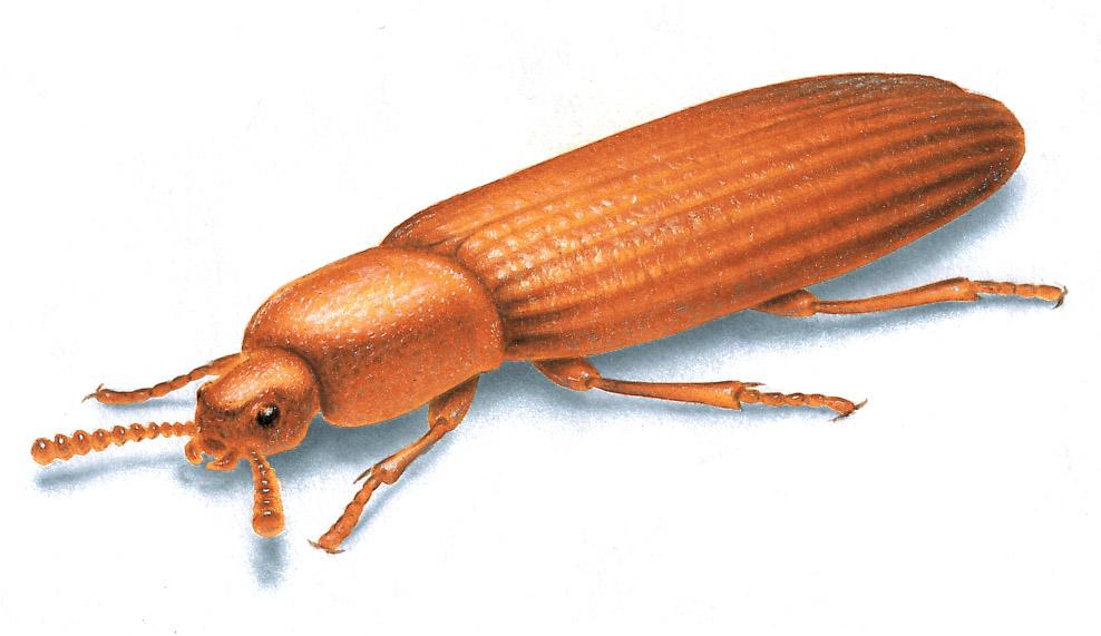 Flour Beetle Picture