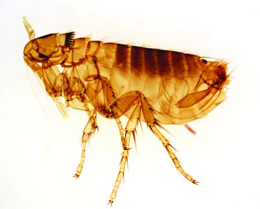 tengo pulgas en casas