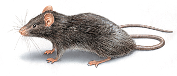 roof rat image