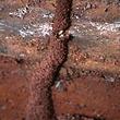 النمل الأبيض الطين