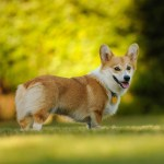 Pembroke Welsh Corgi All About Dogs