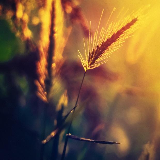 Sunset light on grain