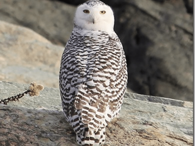 'Have A Hoot': Where To Spot The Snowy Owl