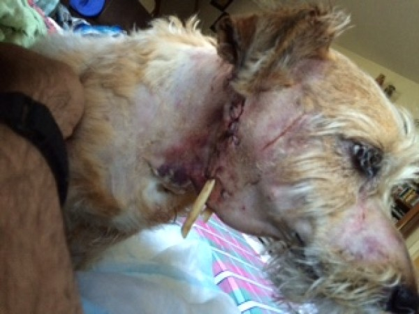 Dog Owner Speaks Out After Fisher Cat Attack - Ledyard, CT ...