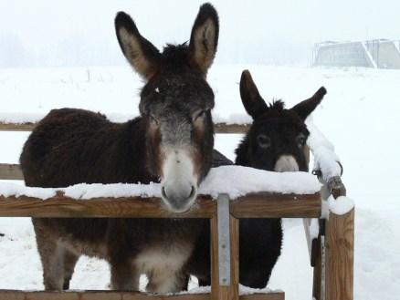 Tanti appuntamenti in Cascina Guzzafame: l'allattamento dei vitellini, la consegna delle letterine per Babbo Natale alle asinelle, i laboratori creativi, uno spettacolo circense e una merenda con canti natalizi