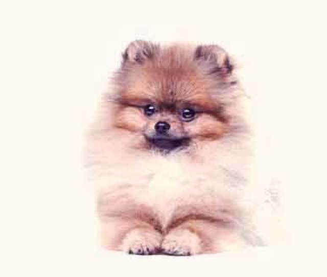 Grooming Styles For Pomeranians