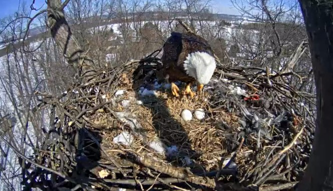 Watch Live Another Eagle Cam At Mount Berry In Georgia