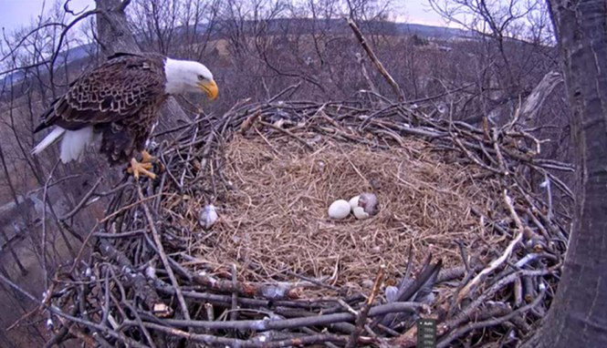 An Eagle Watches Over The Eggs At Nest Pritchett Real Estate Inc