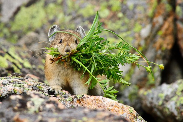 Mountain Pika captured with a 300mm f/2.8G VR II lens