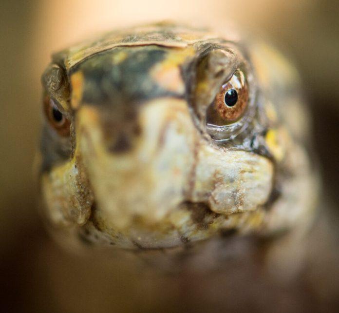 Verm-Box-Turtle-captive-D7200-7865