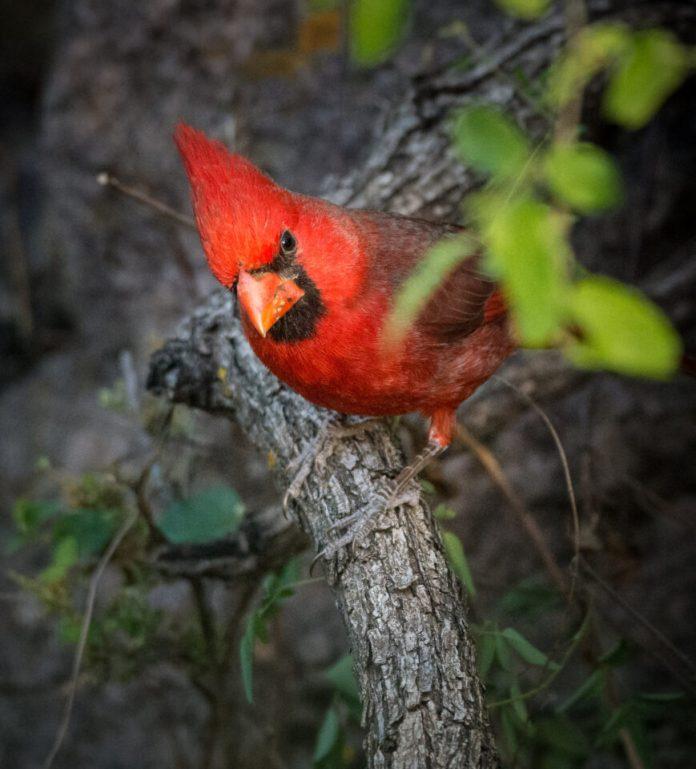 Verm-Cardinal-BANWR-6973