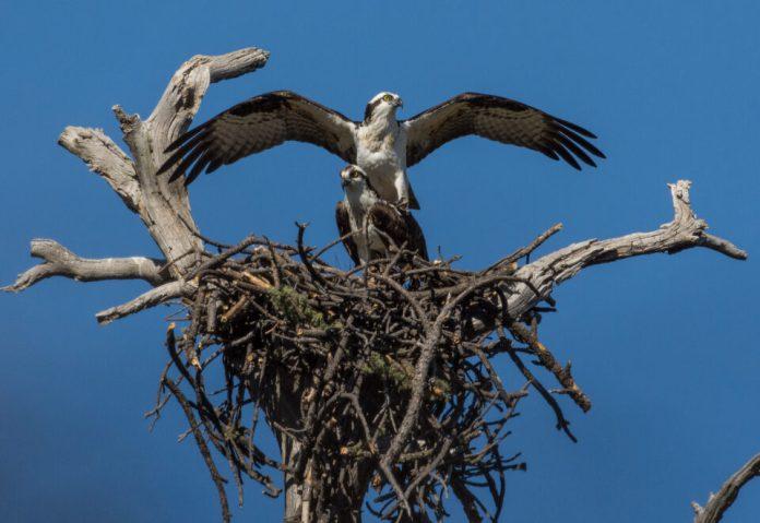 Verm-Ospreys-mating-D7200-2820