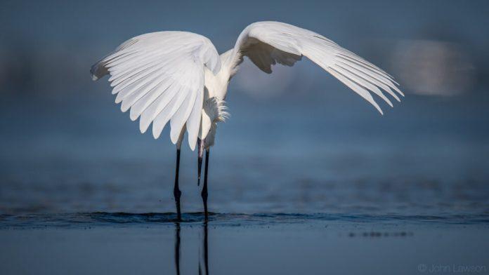 Reddish Egret (white morph) - Nikon D500, 600mm f/4, ISO 160 1/4000s f/5.6