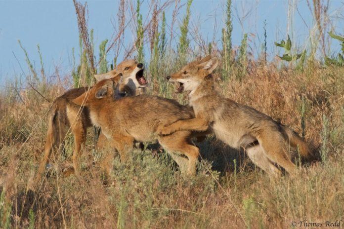 Coyote pups - Nikon D500, 500mm f/4 + 1.4x T.C., ISO 640 1/1600s f/8