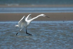 White Morph Reddish Egret 2