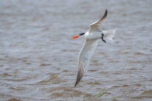 Royal Tern 1