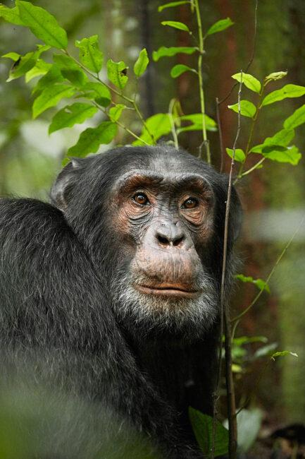 12. Chimpanzee, Uganda