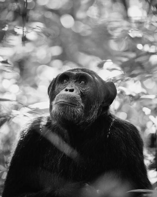 17. Chimpanzee #2