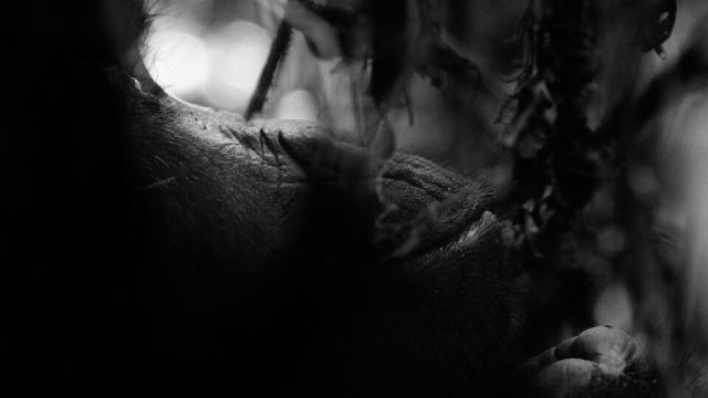 8. Gorilla in the Brush