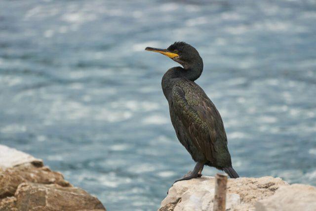 14. Cormorant