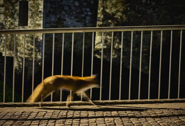 23. Fox On The Street