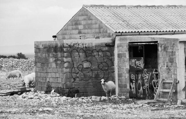 4. Sheep of Pag