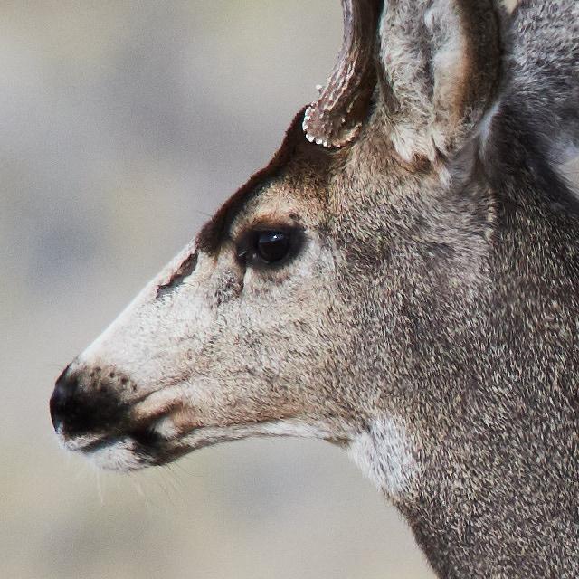 Crop of deer at fast shutter speed