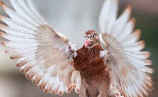 Rock Pigeon super-close action