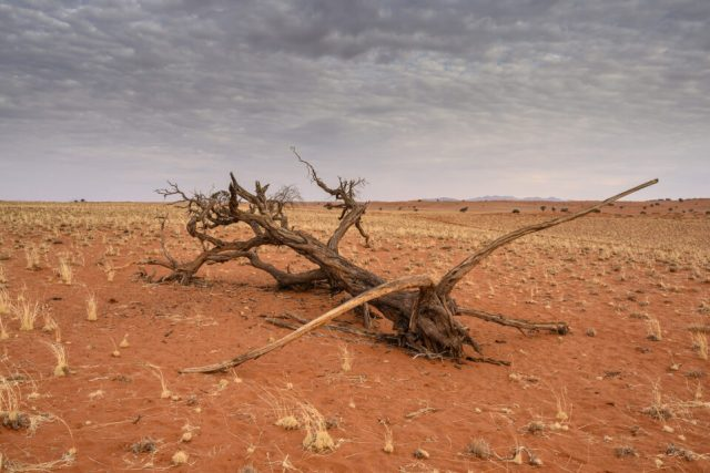 A dead tree in Namib Desert