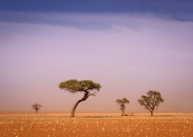 Lone trees in the Namib Desert