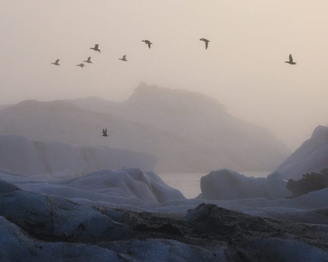 Here, Arctic Terns fly in front of icebergs in Iceland's Jokulsarlon Lagoon.