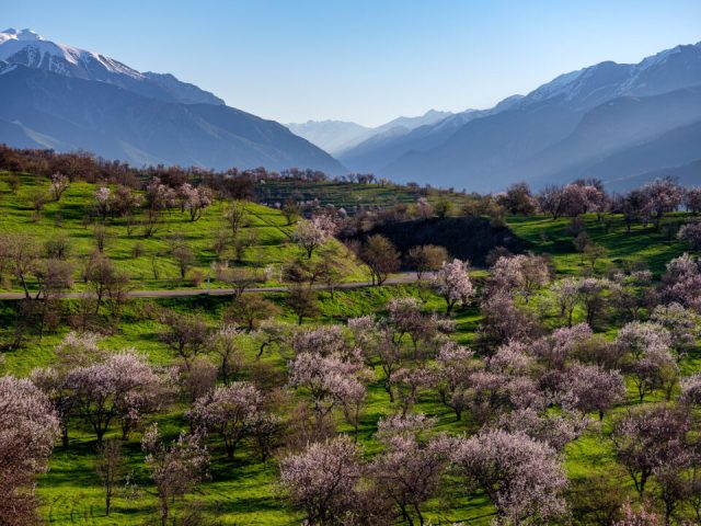 The Spring Blooming of Fruit Trees near Ugam Chatkal