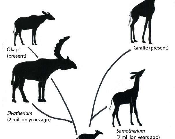 Researchers discover clues on how giraffe neck evolved
