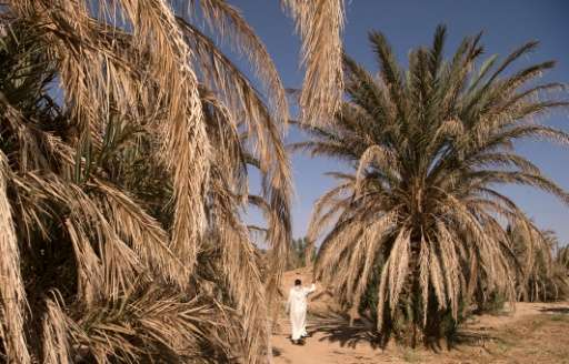 A man walks past dying palm trees in the Tafilalet oasis on October 27, 2016