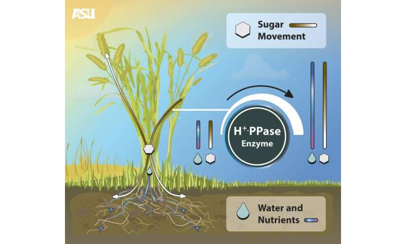 ASU researcher improves crop performance with new biotechnology