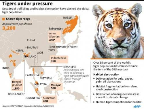 Tiger under pressure