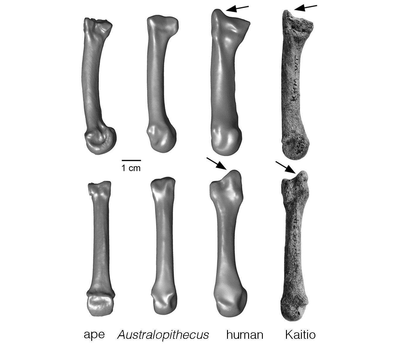 Discovery Of 1 4 Million Year Old Fossil Human Hand Bone
