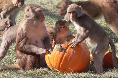 Image result for Monkeys show that Low social status damages the immune system