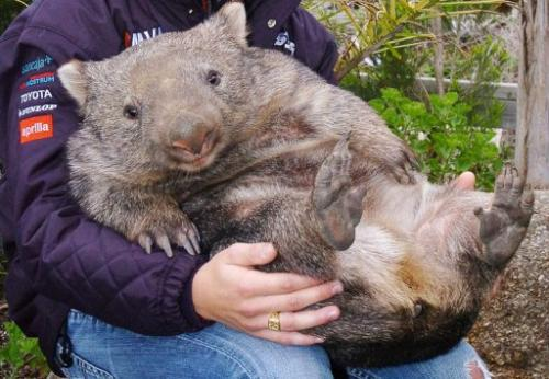 The illness causes the wombat to lose some or all of its fur and then starve to death