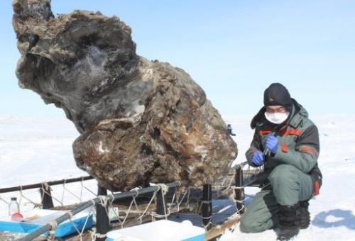 Un ricercatore in Yakutsk il 13 maggio 2013 vicino ad una carcassa di un mammut femmina trovato su un'isola nel Mar Glaciale Artico