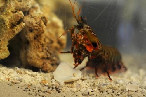 https://i2.wp.com/cdn.physorg.com/newman/gfx/news/2014/1-mantisshrimp.jpg