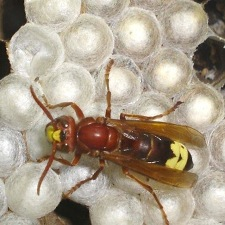 Physicists discover how the outer shell of a hornet can harvest solar power