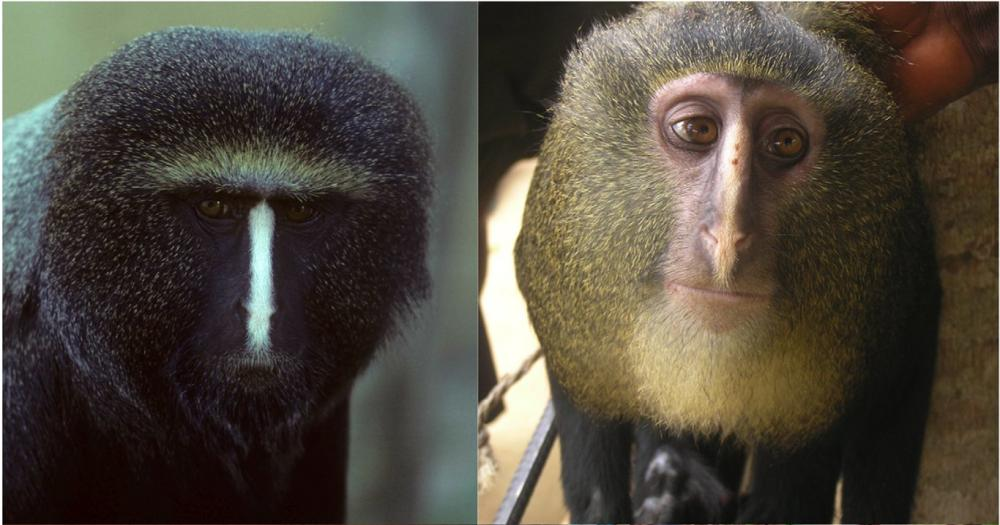 Adult pelage coloration. Portraits are of a captive adult male Cercopithecus hamlyni (upper left), photo by Noel Rowe, with permission; and captive adult male Cercopithecus lomamiensis (upper right). Credit: doi:10.1371/journal.pone.0044271