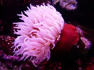 Seeanemone, Anemone, Wasser, Meer, Tier, Blumentier